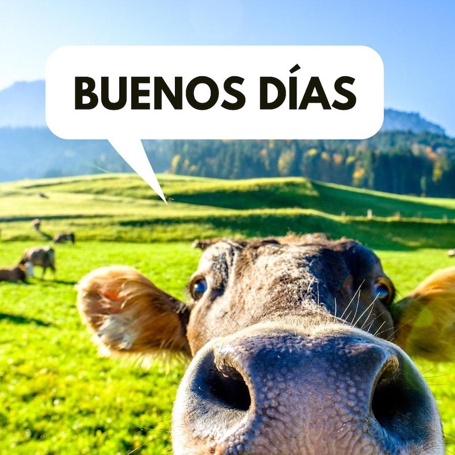 La vaca te está...